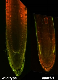 Flavonoid fluorescence in wild type and  apm1-1  roots of 5 day old seedlings