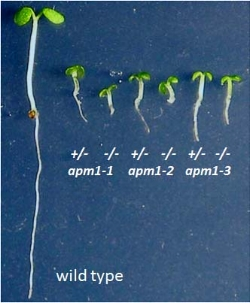 5-d old wild type and  apm1  Arabidopsis seedlings. From Peer et al., 2009  Plant Cell