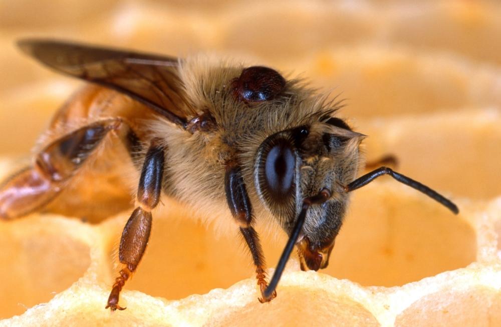 Honey Bee, Apis mellifera photo: USDA/ARS