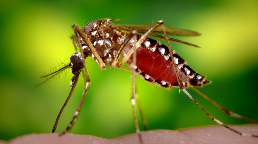 Yellow Fever Mosquito, Aedes aegypti photo: James Gathany