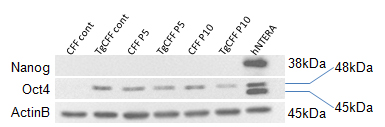 Western blot stained for transcription factors NANOG and OCT4.