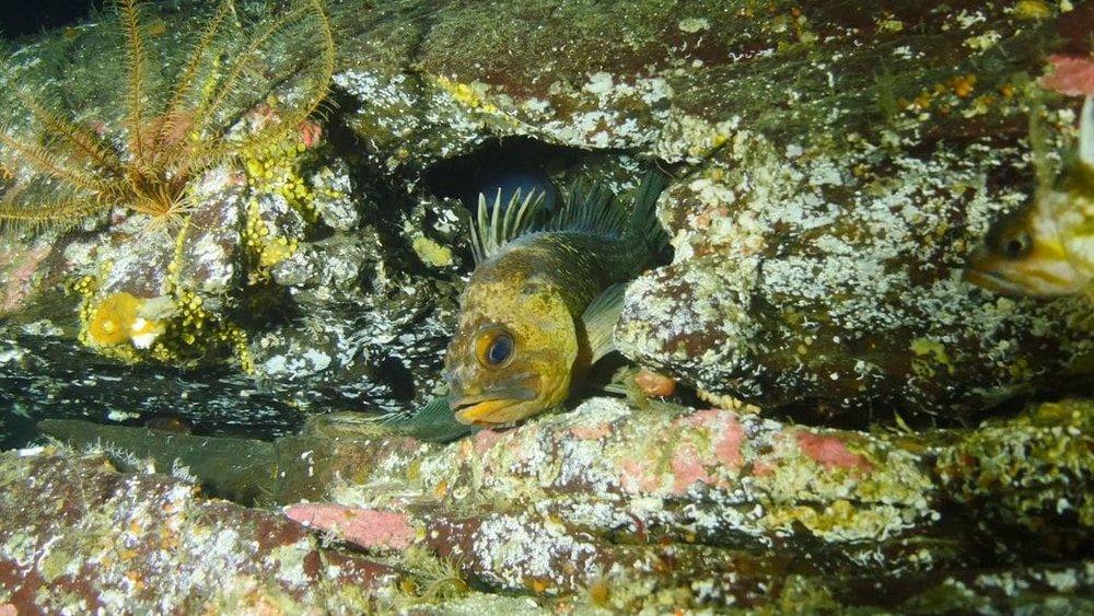 A quillback rockfish ( Sebastes maliger ) in Nanoose Bay, BC.  Photo: Tristan Blaine.