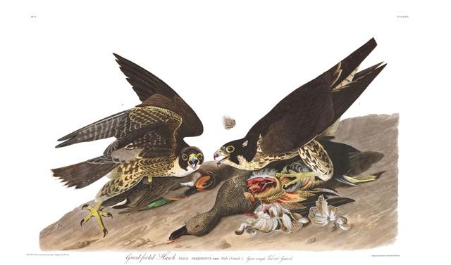 Plate-16,-Great-Footed-Hawk-final (1).jpg