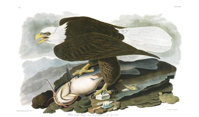 Plate-31,-White-headed-Eagle-final.jpg