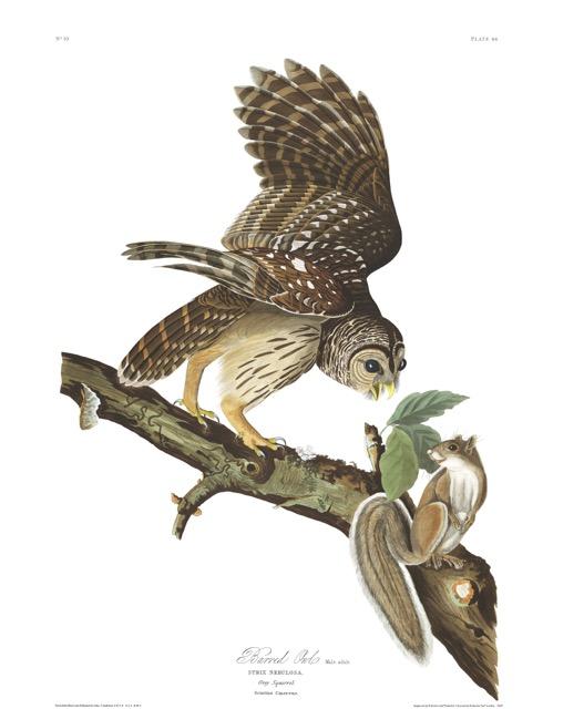 Plate-46,-Barred-Owl-final.jpg