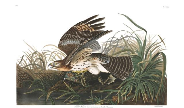 plate-71-winter-hawk-final.jpg