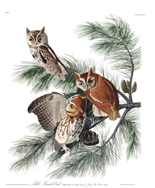 plate-97-little-screech-owl-final.jpg