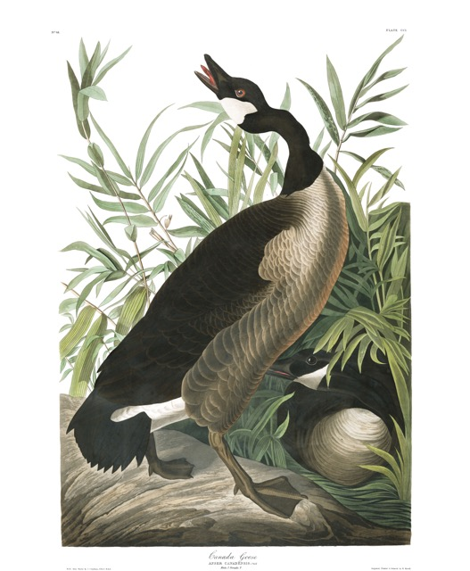 plate-201-canada-goose-final.jpg