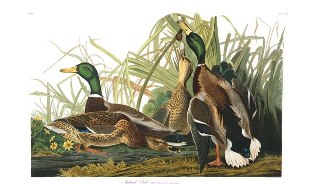 plate-221-mallard-duck-final.jpg