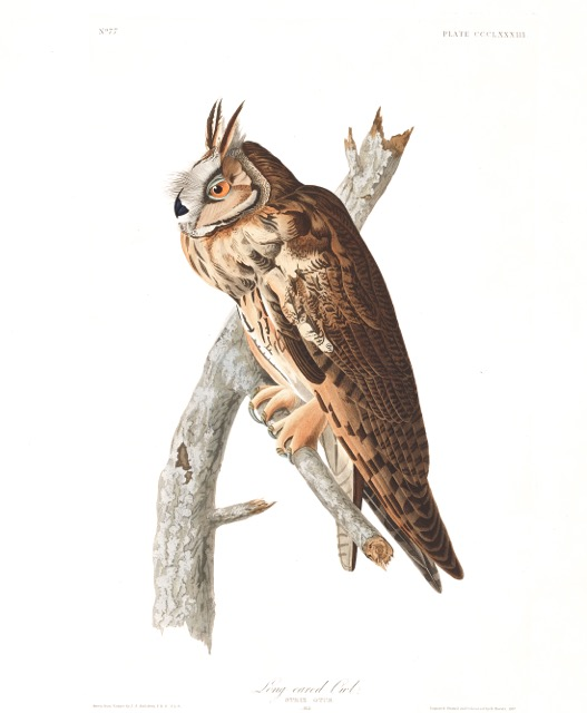 plate-383-long-eared-owl.jpg
