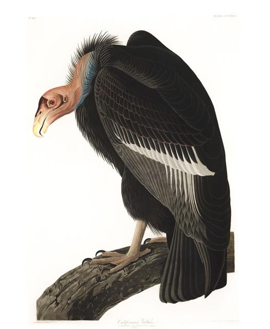 plate-426-californian-vulture.jpg