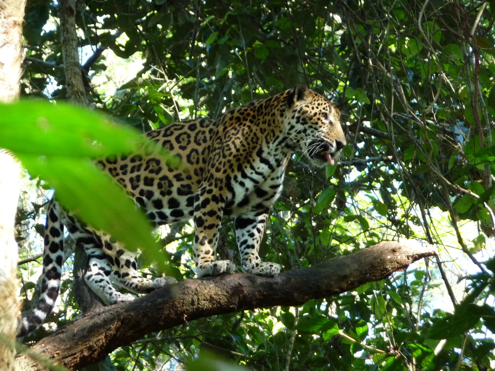 Junior Buddy - the main attraction at the Belize Zoo