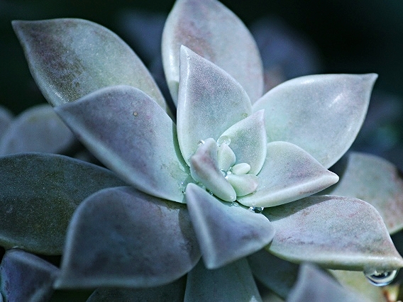 Succulent with dew - Belize Vacation Packages - SabreWing Travel - Photo by David Berg