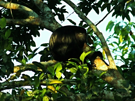 Mexican Black Howler Monkey - Belize Vacation Packages - SabreWing Travel - Photo by David Berg