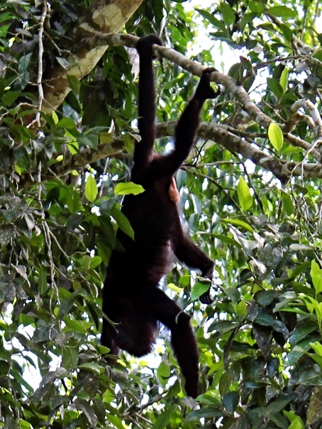 Mexican Black Howler Monkey - Cayo District - Belize Vacation Packages - SabreWing Travel - Photo by David Berg