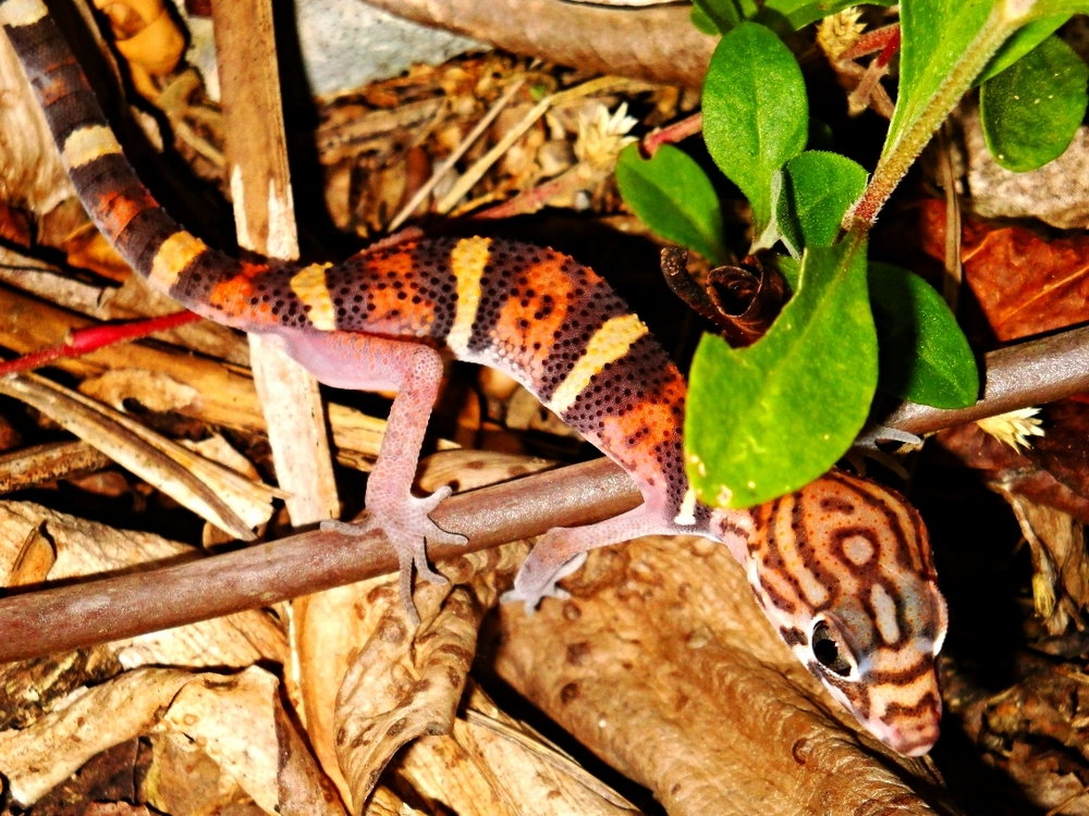 Yucatan Banded Gecko - Belize Vacation Packages - SabreWing Travel - Photo by David Berg