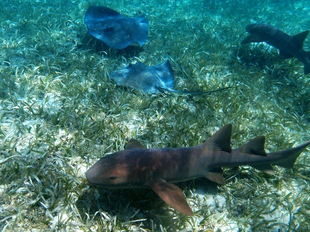 Nurse Sharks & Southern Sting Rays - Shark Ray Alley - Belize Vacation Packages - SabreWing Travel - Photo by Carlo Cencini