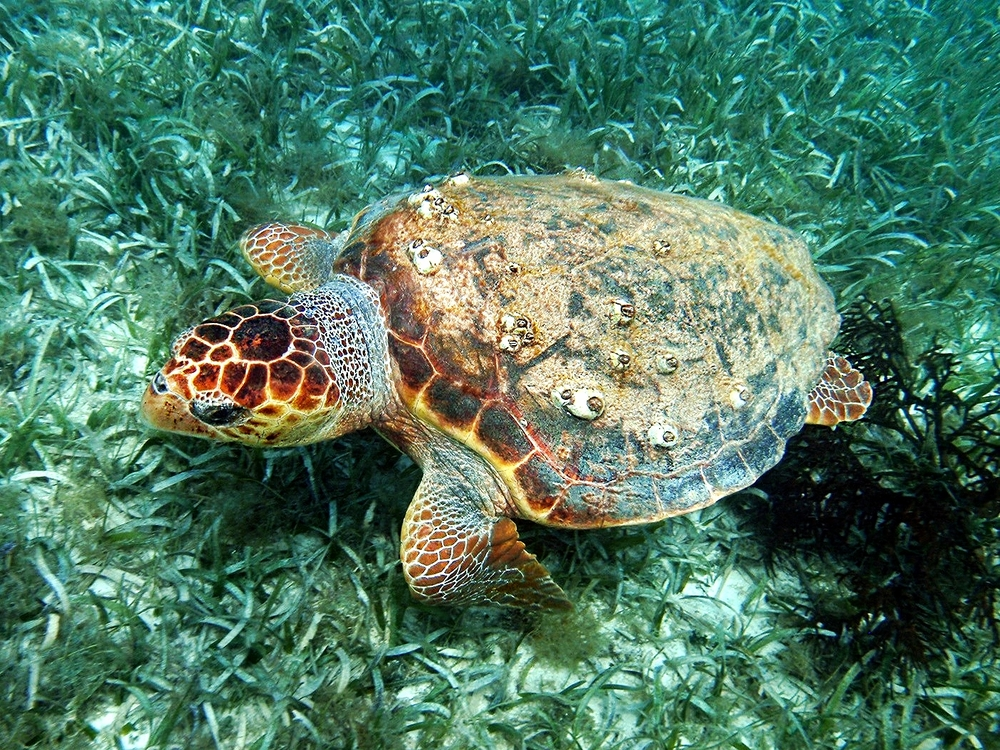 Green Sea Turtle - Hol Chan Marine Reserve  - Belize Vacation Packages - SabreWing Travel - Photo by Carlo Cencini
