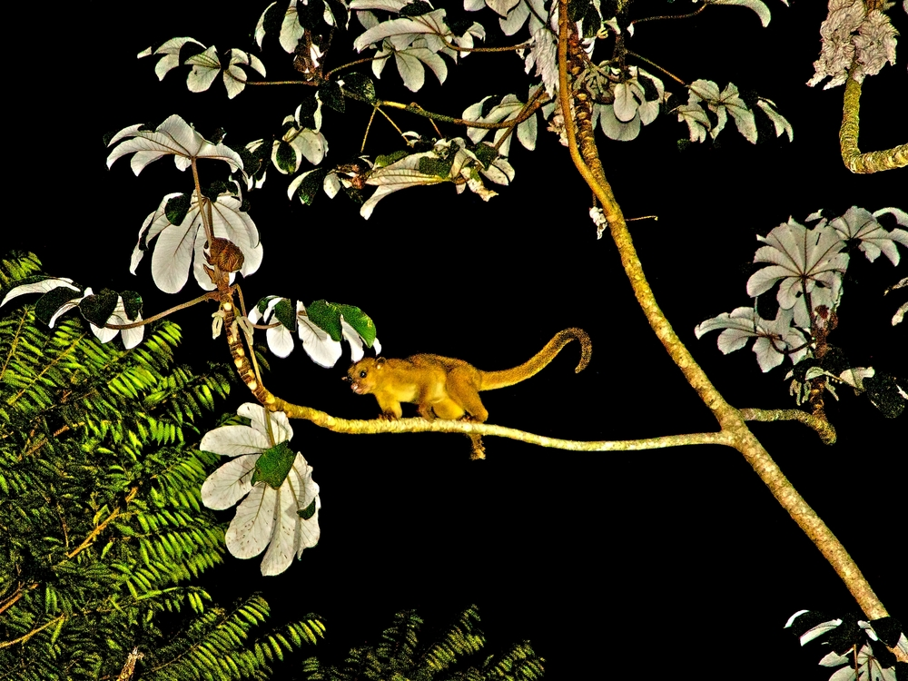 Kinkajou - Cayo District - Belize Vacation Packages - SabreWing Travel - Photo by David Berg