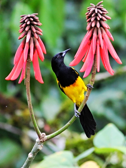 Black Cowled Oriole - Bird-watching - Belize Birding Vacations - Belize Vacation Packages - SabreWing Travel