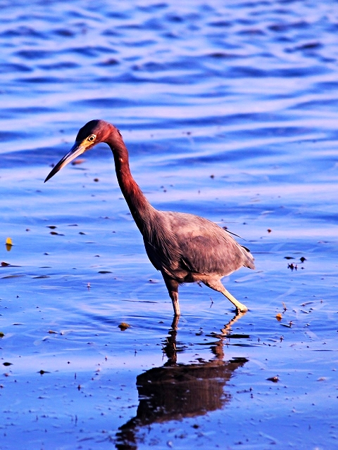 Great Blue Heron - Bird-watching - Belize Birding Vacations - Belize Vacation Packages - SabreWing Travel