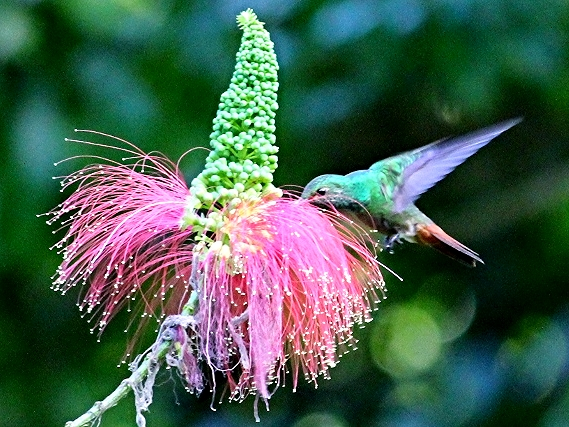 Rufous-Tailed Hummingbird - Bird-watching - Belize Birding Vacations - Belize Vacation Packages - SabreWing Travel