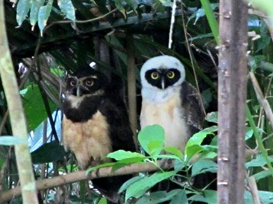 Spectacled Owl adult and juvenile - Bird-watching - Belize Birding Vacations - Belize Vacation Packages - SabreWing Travel