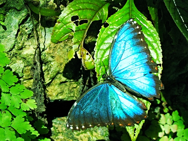 Blue Morpho Butterfly - Belize Vacation Packages - SabreWing Travel - Photo by David Berg