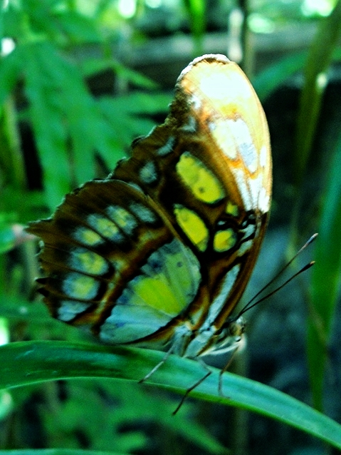 Malachite Butterfly - Belize Vacation Packages - SabreWing Travel - Photo by David Berg