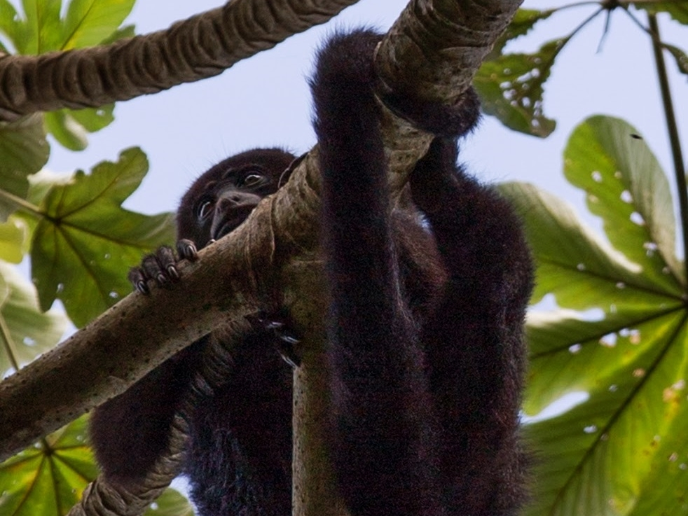 A Mexican Black Howler Monkey rests in a Cecropia Tree