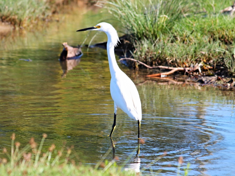 A Great Egret works the shallows in search of frogs and fish