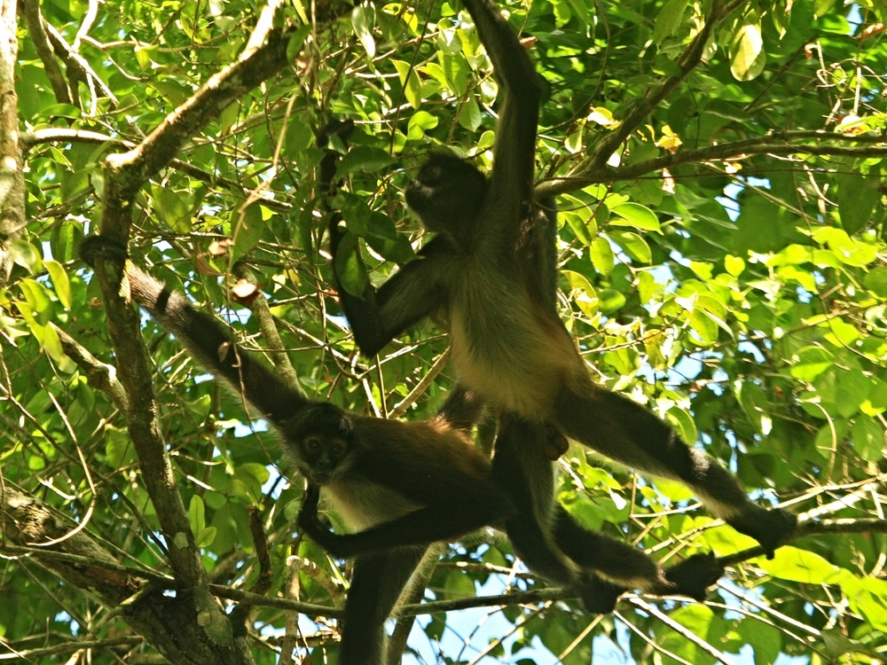 Spider Monkeys in the Rio Bravo Conservation Area