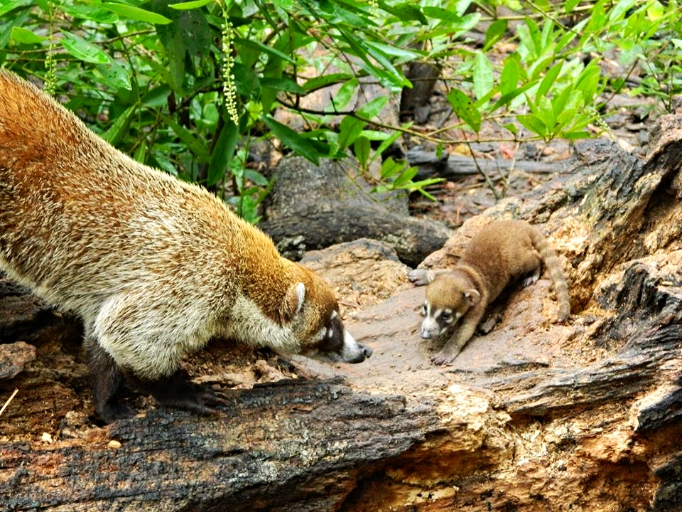A father Coatimundi greets its baby in the Rio Bravo Conservation Area