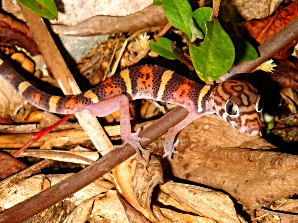 A Yucatan Banded Gecko makes its way across the forest floor