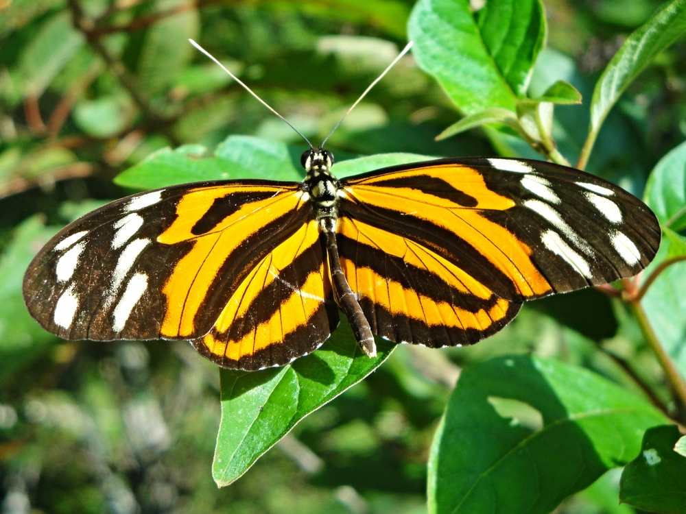 A Heleconia-type Butterfly works the flowers along the forest edges