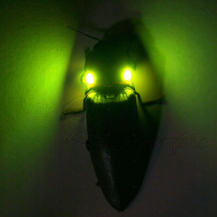 "The bioluminescent ""running lights"" on the back of this click beetle are often mistaken for eyes"