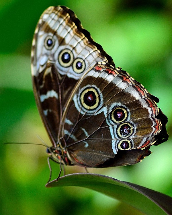 Eye spots on the outside of the morpho's wings serve to distract and confuse predators