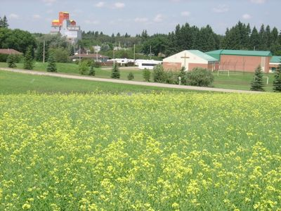 Canola is being grown next to Norquay (Saskatchewan) Covenant Church to raise funds for aid in Sudan, 2010.