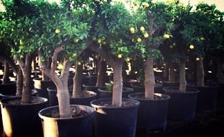 church-planting-citrus-trees.jpg
