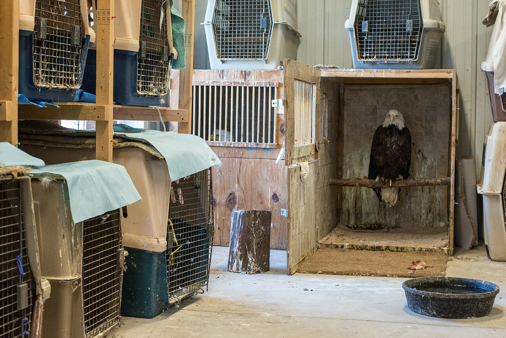 rehabilitating eagle