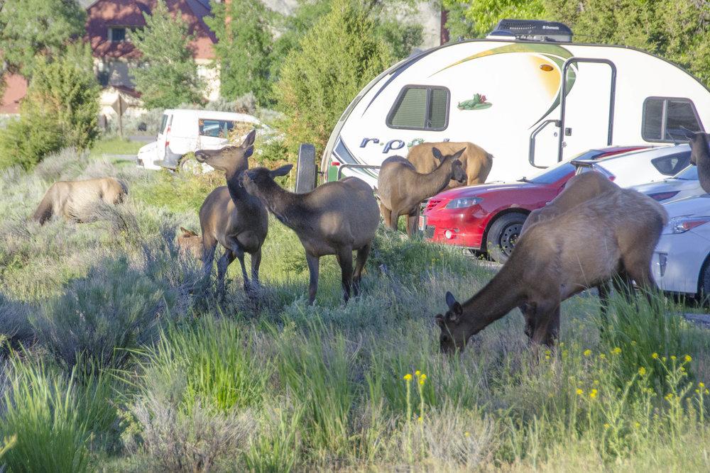 So Many Elk - 20180614_0051.jpg