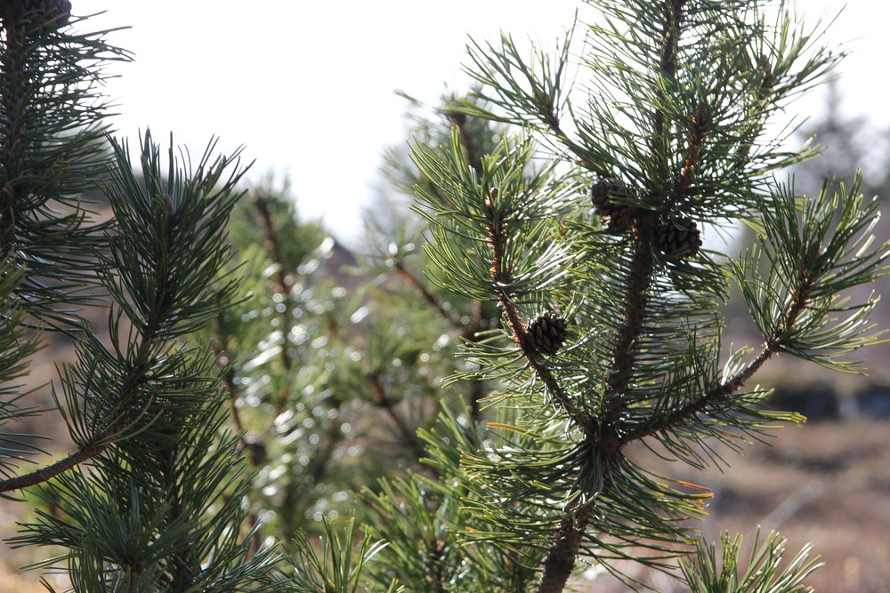 Happy spruce dancing in the wind.