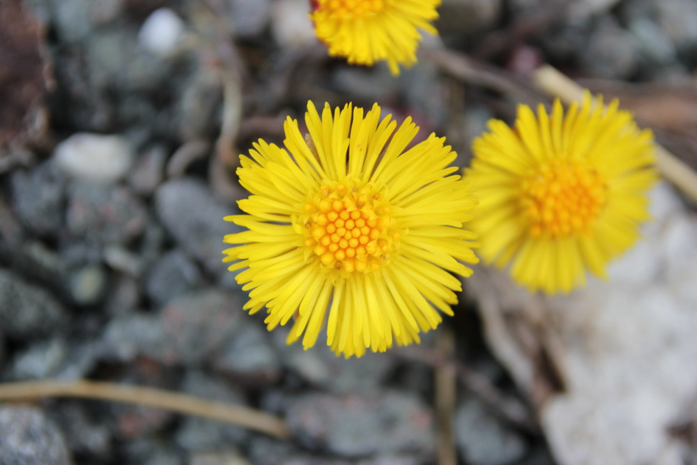 The first Coltsfoot bursting out of pebbled paths.