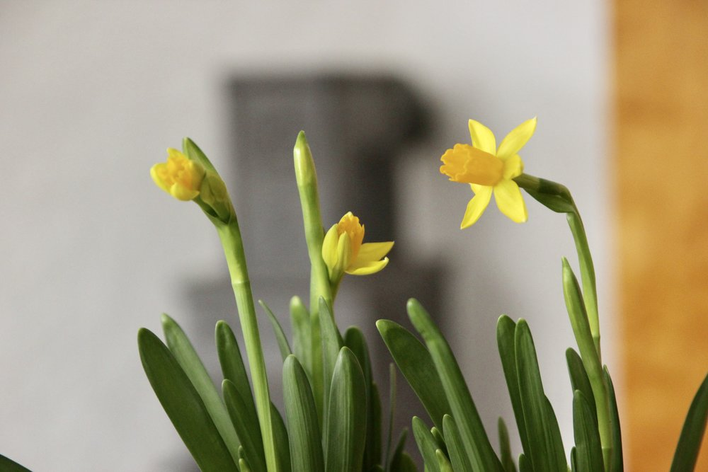 Daffodils from a loving friend.