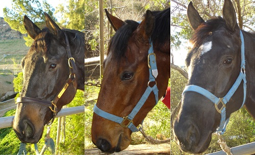 The tired and spiritless eyes of three rescue Thoroughbreds.
