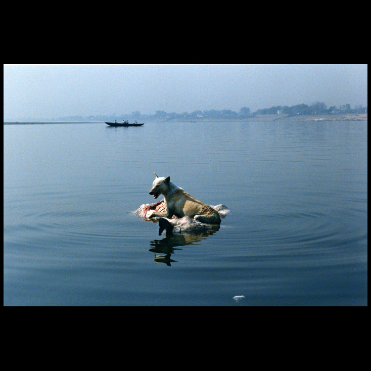 Polaroid - For a meal, a feral street dog swam out to the middle of the Ganges River to ride along with the bloated, rotting floating carcass of a water buffalo in Varanasi, India.