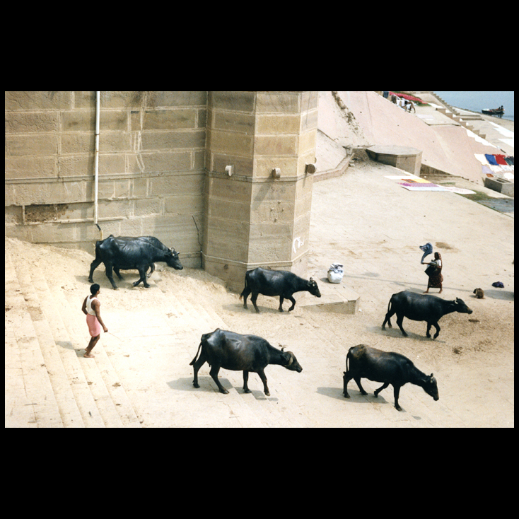 Polaroid - A shepard brings his herd of water buffalo down to the banks of the Ganges River for a drink and a cooling swim - Varanasi, Inda