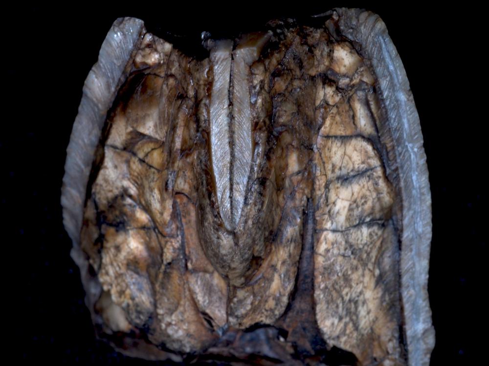 Fossil hippopotamus tooth