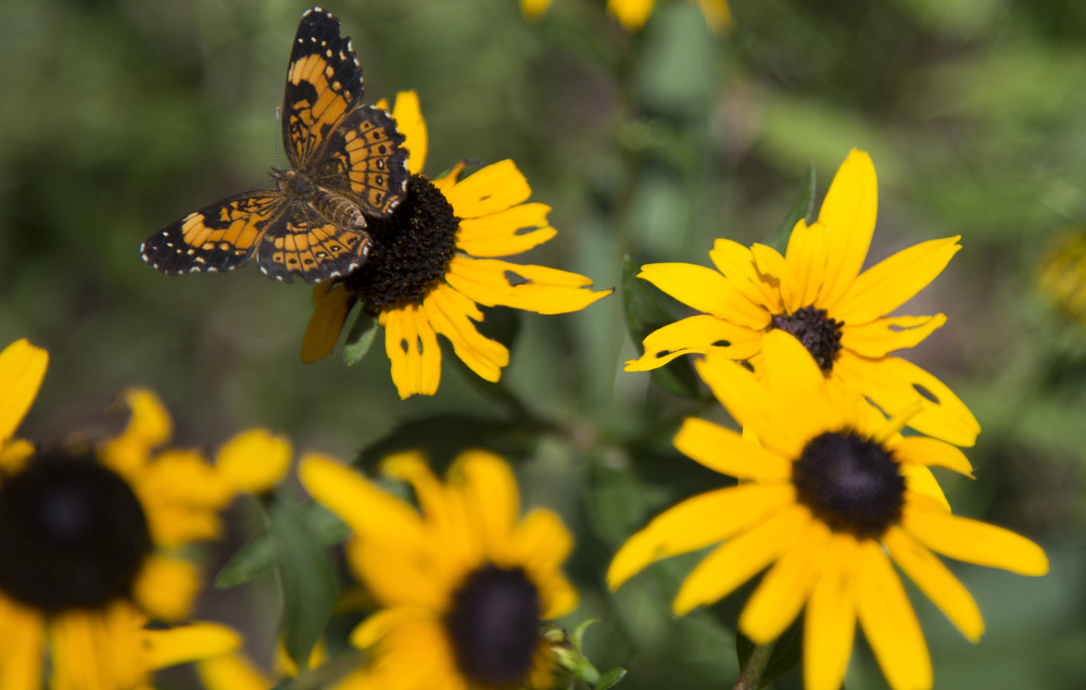 Thursday: A Silvery Checkerspot butterfly lands on a black-eyed Susan at the North Carolina Botanical Garden on Thursday, July 17, 2014.