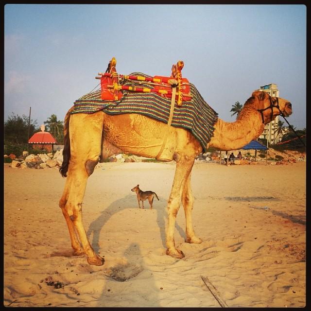 camel dog.jpg